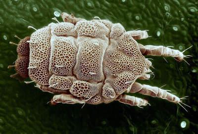 are mites dangerous