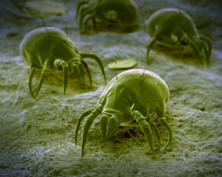 exterminate mites in a professional manner