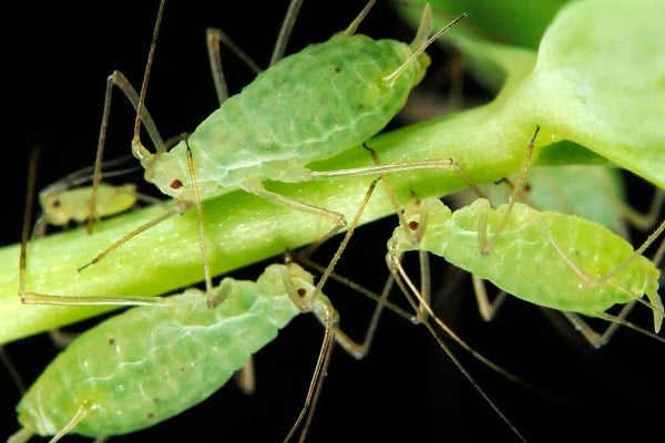 aphid sting