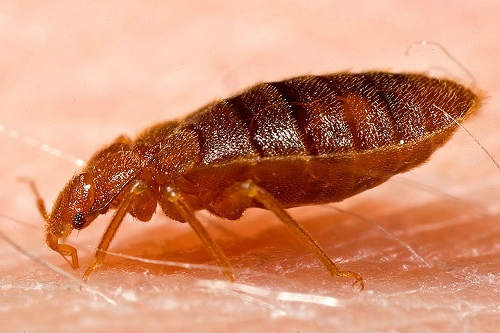are bed bugs dangerous