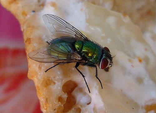 are flies dangerous