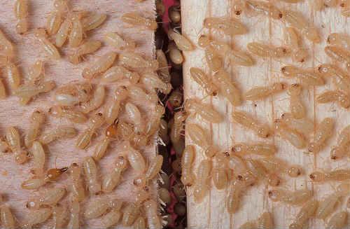 are termites dangerous