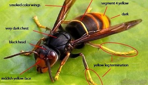 asian giant hornet morphology