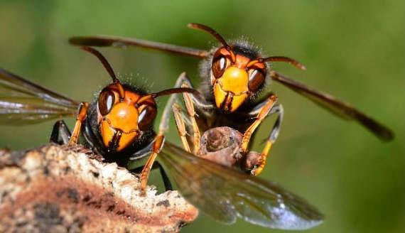 asian giant hornet sting treatment