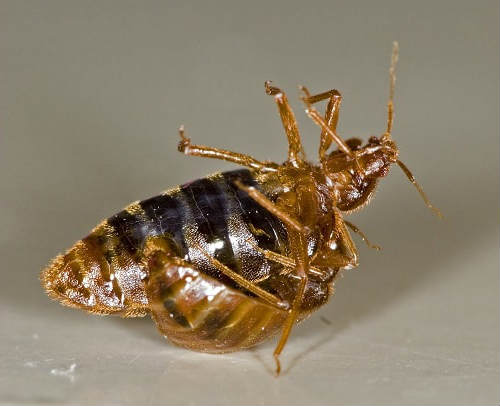 bed bed bugs