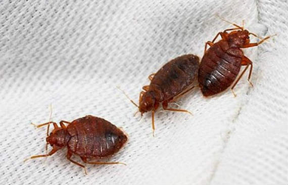 bed bug sting 2