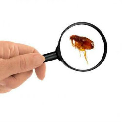 fleas bites