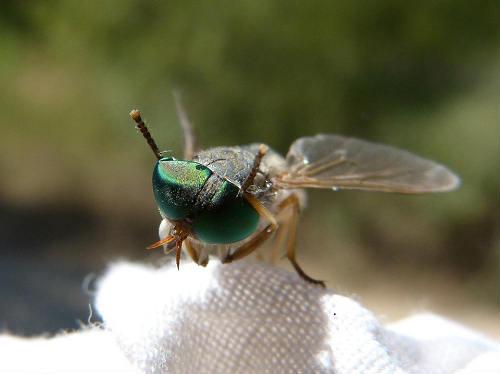 fly sting