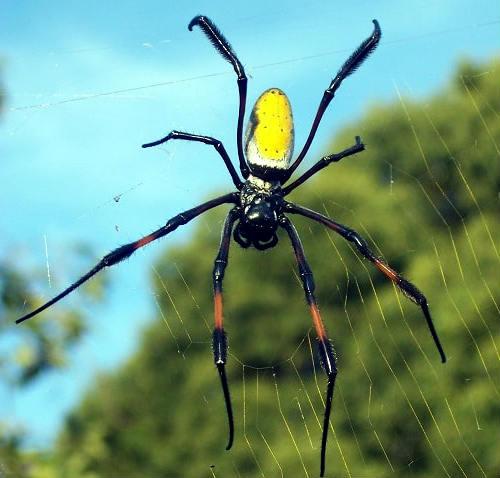gold silk orb weaver spider