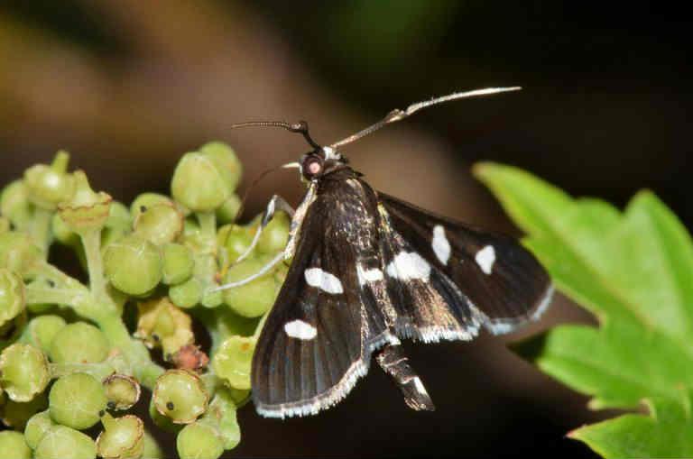 grain moth