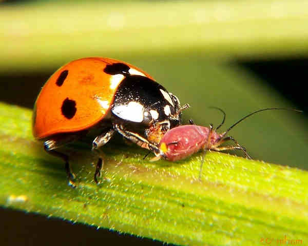 how to eliminate aphids
