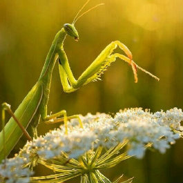 how to get rid of praying mantis