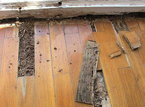 is woodworm dangerous