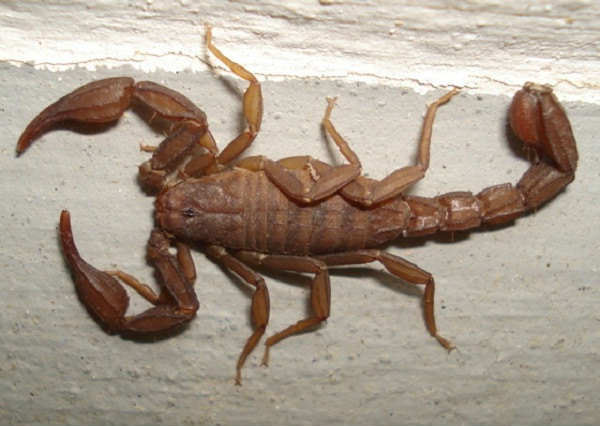 lesser brown scorpion