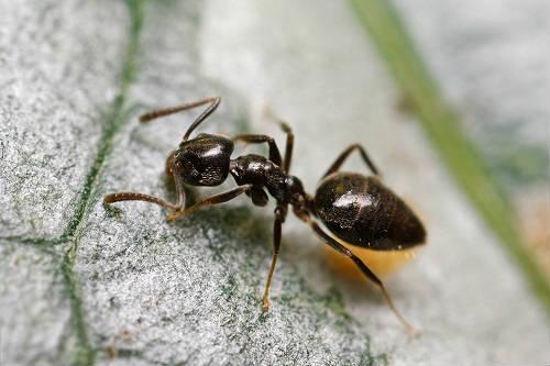 odorus house ant