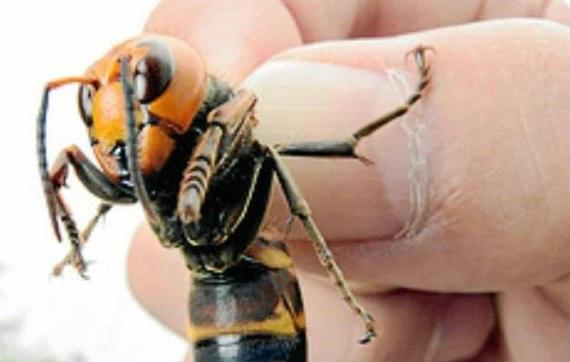 prevent asian giant hornet sting