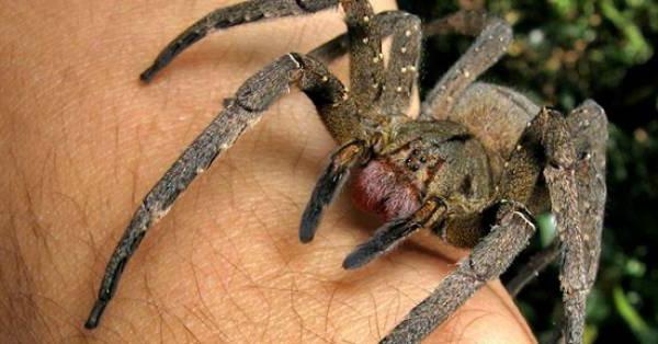 spider stings