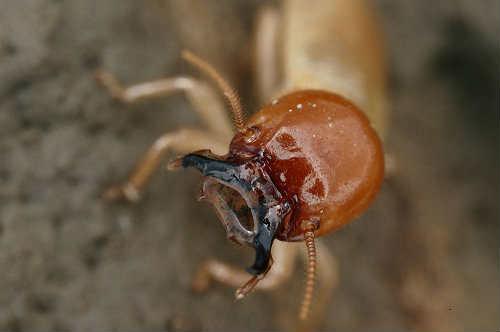 termites bite