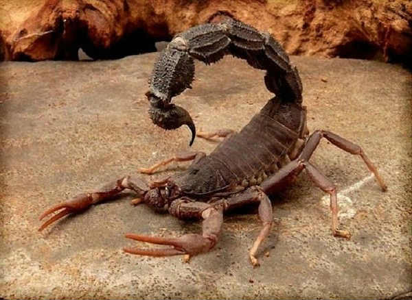 what are scorpions