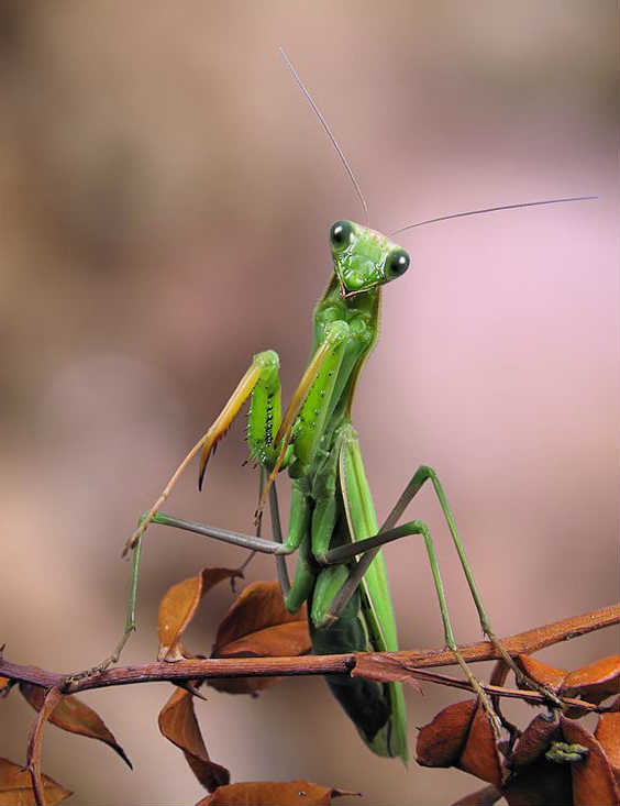 what is the praying mantis