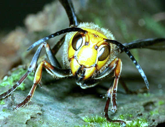 where does the asian giant hornet live