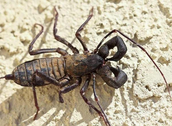 whip scorpion