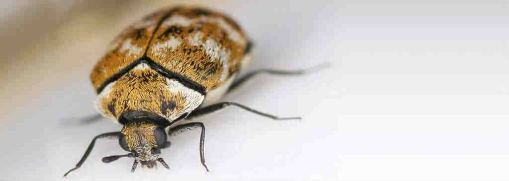 3 Ways To Get Rid Of Carpet Beetles Howtogetridof Net