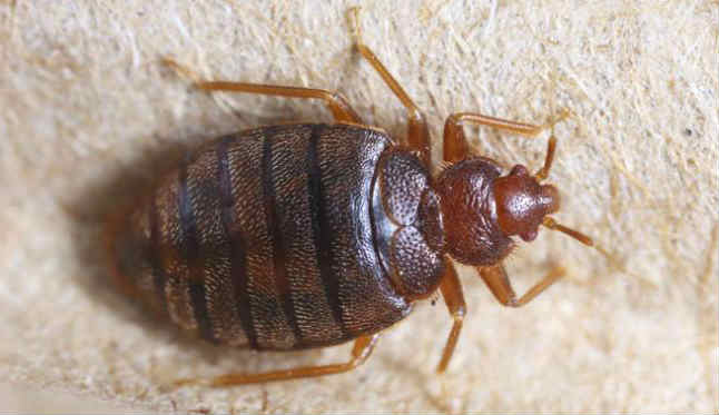 Curiosities about bed bugs that nobody knows