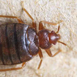 Curiosities of bed bugs that nobody knows