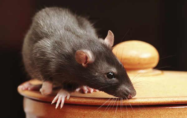 Effective techniques to kill rats