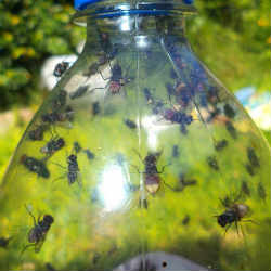 How to avoid an invasion of flies with natural treatments