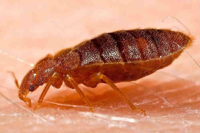 How to know if there are bed bugs at home?