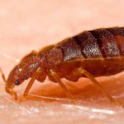How to know if there are bed bugs at home