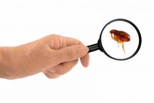 Kill fleas in dogs