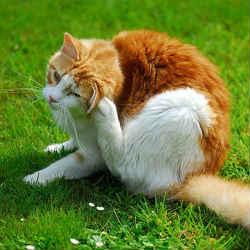 Kill fleas on cats