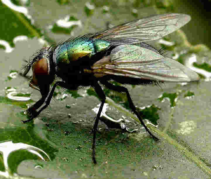 Season where there are more flies