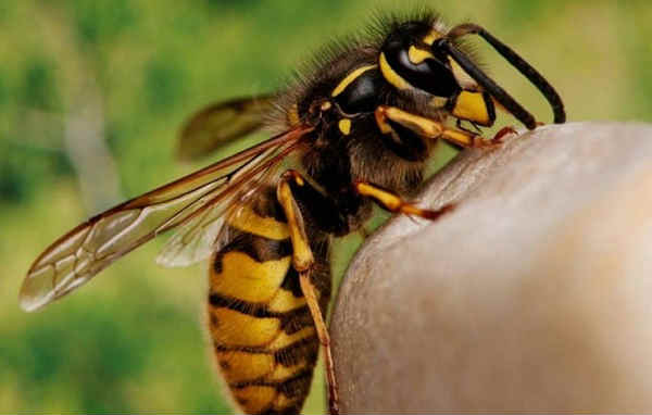 WASP STING » How to identify it, avoid it and what to do if it happens