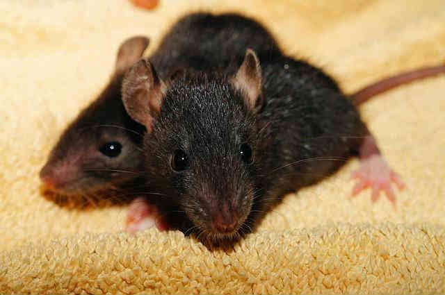 homemade tricks to kill rats