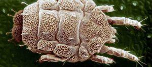 how to kill mites
