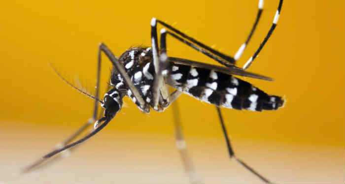 tiger mosquito physical characteristics