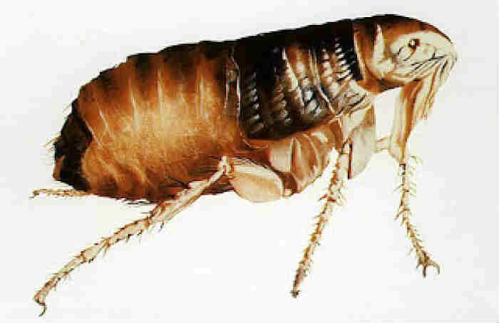 vaccines against fleas