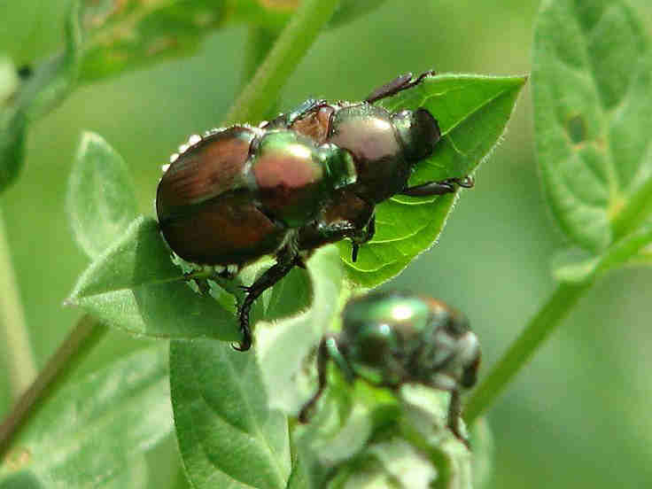 what need to know about beetles